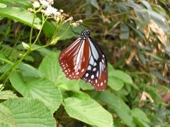 渡り蝶のアサギマダラ