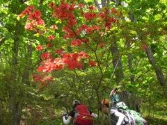 ミツバツツジがまだ咲いていた